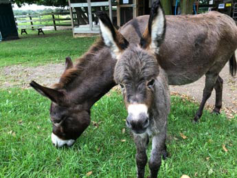 Donkeys at Morden's Petting Zoo