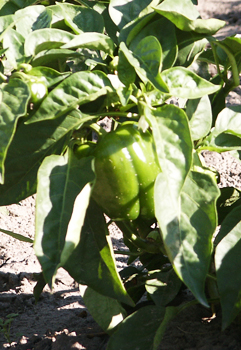 Organic Green Pepper